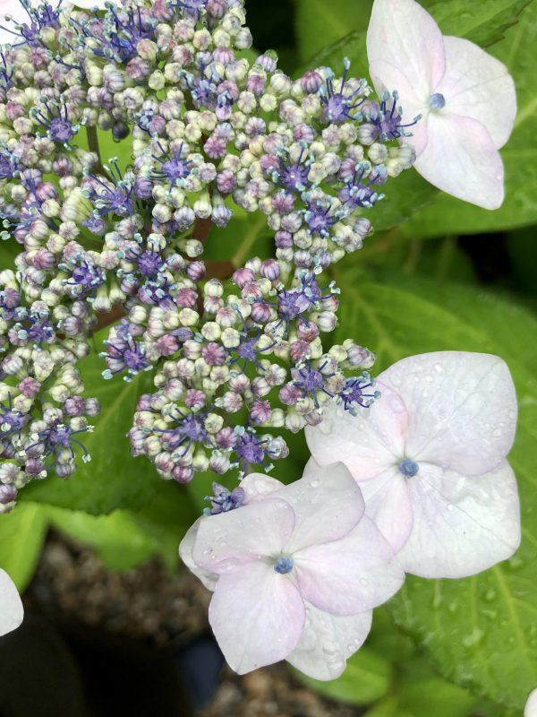 山紫陽花;